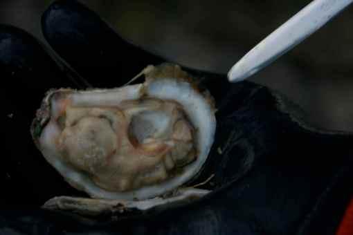 a fresh raw oyster