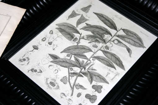 early 1800s copperplate botantical