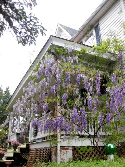 climbing wisteria outside the design house