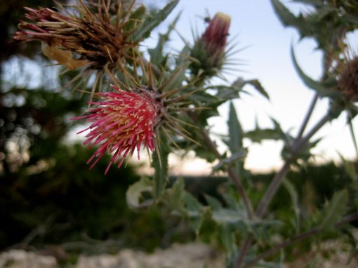 a beautiful thistle greeting us after a TOUGH hike out