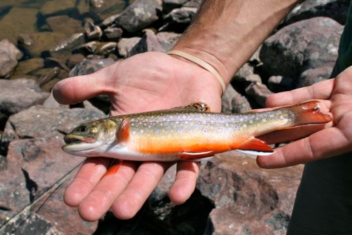 the pretty brook trout we were catching